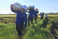 Đoàn viên thanh niên giúp đỡ nhân dân thu hoạch lúa mùa