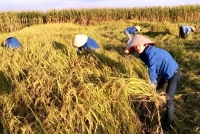 Hương Sơn: Đoàn viên thanh niên xuống đồng tình nguyện giúp dân thu hoạch mùa