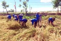 Cẩm Xuyên: Ra quân giúp nhân dân thu hoạch lúa vụ đông xuân năm 2018